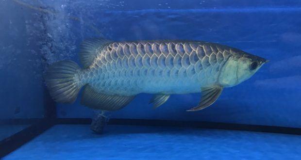 Cá rồng Quá Bối 40cm tại cá cảnh Thái Hoà - Cá cảnh | Bể cá cảnh Thái Hòa