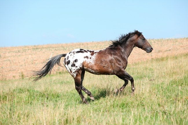 """Appaloosa patterns e.g. leopard (a white body covered in darker spots), the ever-changing roan or snowflake blanket (Appaloosa roans are different than traditional roans, which do not change), few spots (like the name sounds, these horses are blanketed but have """"few spots"""")."""