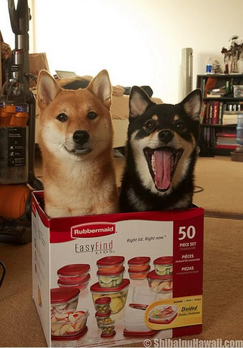 26 Places Shiba Inus Don't Belong | Pleated-Jeans.com