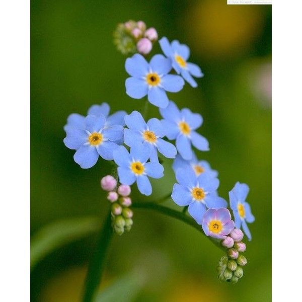 Forget-Me-Not (Eritrichium splendens), Alaska's state flower - Compost... ❤ liked on Polyvore featuring home and home decor