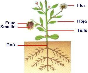 organografia vegetal - de búsqueda
