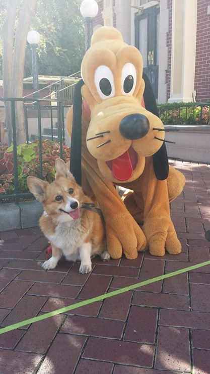 Someone took their Corgi dog to Disney World to pose with the Disney characters! Click for more pictures.