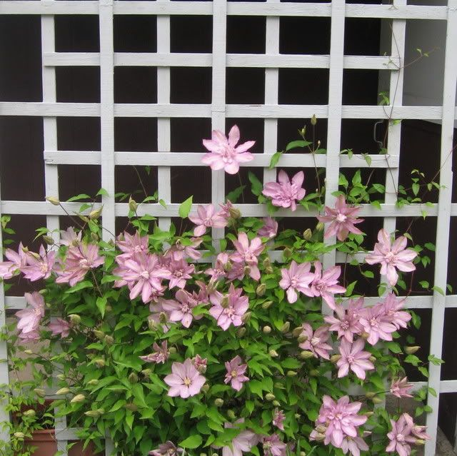 Clematis Vines Growing On The Front Porch Lattice Porch