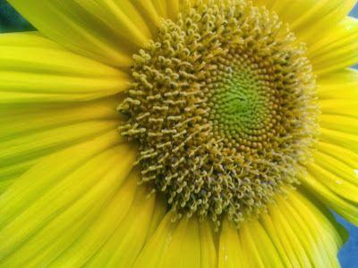 #photo #sunflower