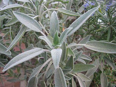 Šalvia lekárska Šalvia lekárska je 20 až 70 cm vysoký, krátko rozkonárený, trváci, silno aromatický poloker s plstnatými šedo zelenými listami. Obľubuje slnečné stanovište, suché, dobre priepustné a vápnité pôdy s dostatkom živín. Kvitne v júni až júli prevažne fialovými, ale aj bielymi a ružovkastými kvetmi. Rastliny často striháme, aby si udržali hustý kríčkovitý rast. Zbierame listy a mladú vňať tesne pred kvitnutím, za suchého počasia, najlepšie dopoludnia.