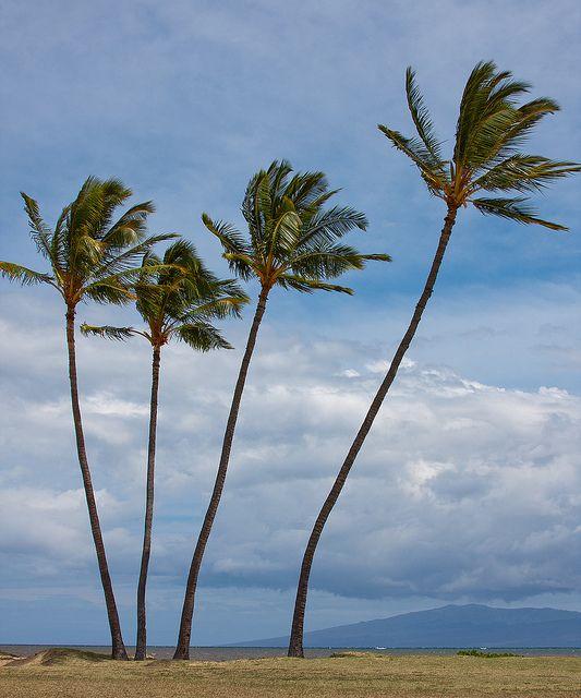 Coconut Trees in Hawaii | Coconut Trees, Molokai, Hawaii | Flickr - Photo Sharing!