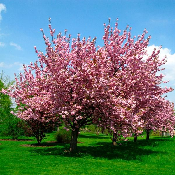 Brighterblooms Com Trees And Plants Delivered 800 399 9514 Flowering Cherry Tree Flowering Trees Cherry Tree