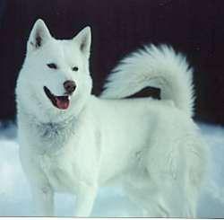 Le husky de Sibérie ou husky sibérien est un chien de travail de taille moyenne souvent utilisé comme chien de traîneau.