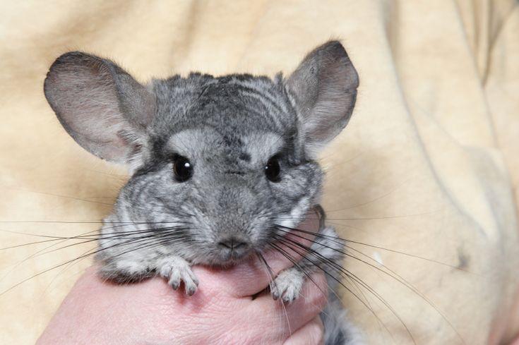 Chinchila é uma boa alternativa de animal de estimação para crianças | Portal Animal - o canal de pets do Estadão