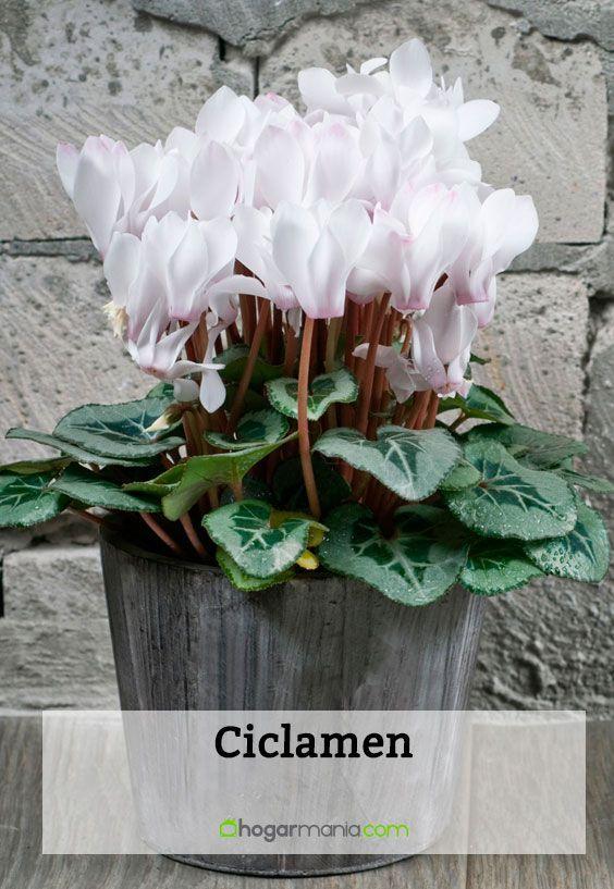 Ciclamen - Cuidados plantas - Jardinería - Hogarmania Garden Care, Small Gardens, Aesthetic Pictures, Bonsai, Iris, Garden Design, Cactus, Home And Garden, Empanadas