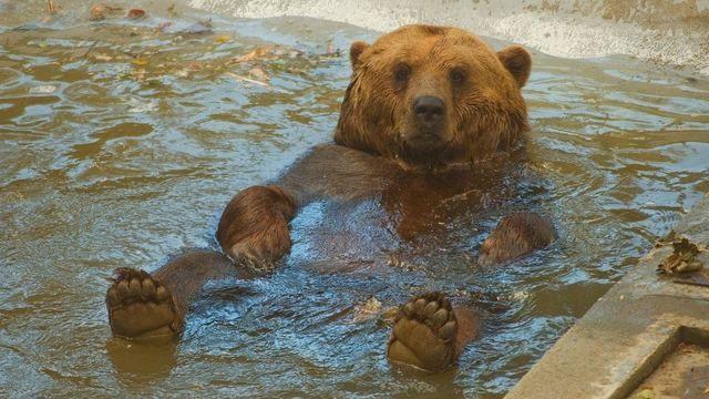 Medvěd Vojta v bazénku.