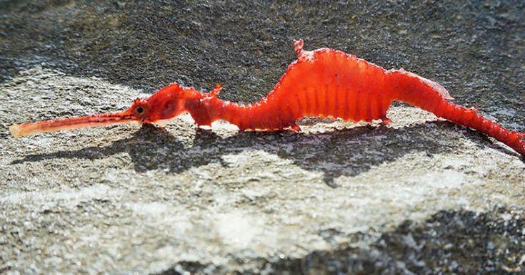Graban al dragón marino rojo, una especie rara y no catalogada hasta 2015