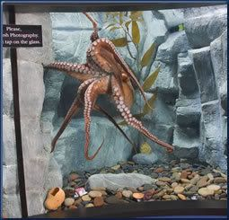 I plan to have a salt water tank at some point, but I'd love to be able to have an octopus tank!