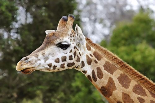 Giraffe Facts For Kids | Giraffe Habitat & Diet