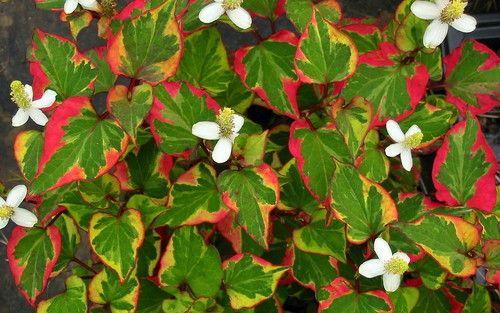 "Edible Everchanging Chameleon Plant - Fish Mint - Houttuynia - 4"""" Pot"