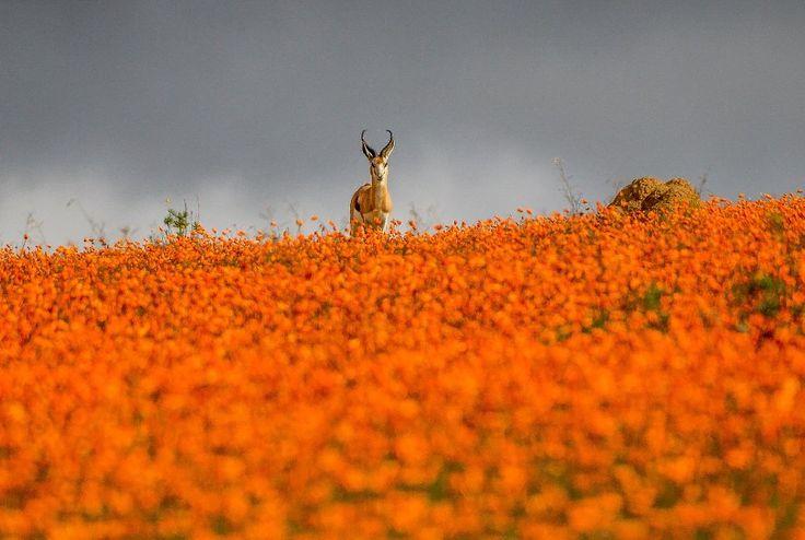 Namaqualand, South Africa.  Amazing photo!