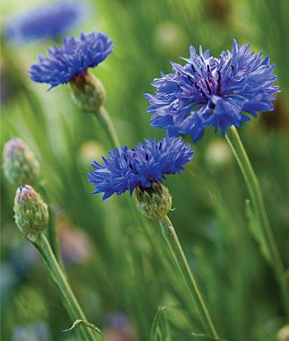 "Bachelor Button 'Blue Boy' - Fragrant flowers bloom from early summer until frost. Perfect for sunny borders and your flower vase. Height 30""."