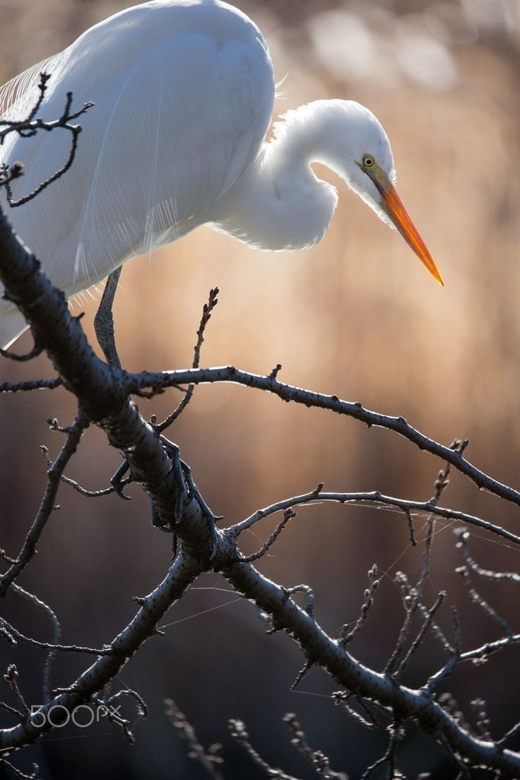 Portrait of Egret - A Great Egret which does a break of the morning in a pond of Zenpukuji Park.