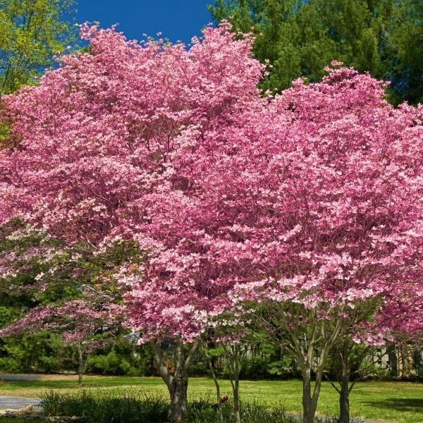 I Can T Wait To See Pink Flowering Dogwoods Like This In The