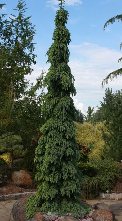 Picea glauca 'Pendula' (Weeping White Spruce) | extremely fastigiate, conical form of white spruce, perfect for a small space. lower branches weep.. Zones 2-6. 40-50' eventually, 10' in 10 years. prefers gravelly soil. lovely shade of bluish green.