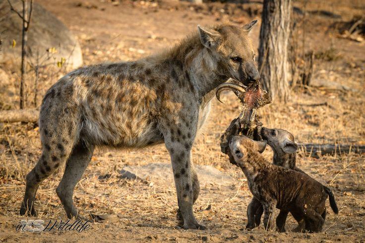 Dinner for 3 - Hyena mom feeding her pups ©inXSWildlife #wildlifephotography #inxswildlife #hyena #wildlife #krugernationalpark