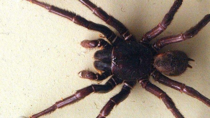 En giftig spindel i Australien kanske kan ge oss en framtida akutbehandling av stroke.