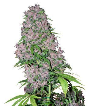 Buy Purple Bud Feminized seeds online- White Label