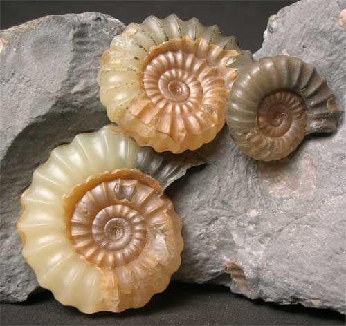 British ammonites from the Jurassic coast