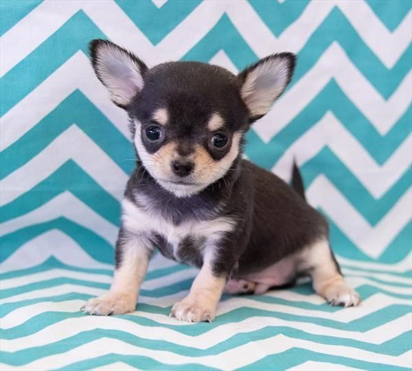Petland Overland Park Has Chihuahua Puppies For Sale Check Out