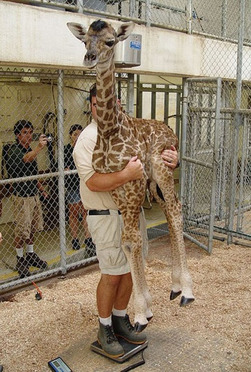 i want to hug a giraffe before i die.. haha. random