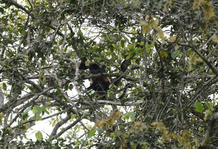 (GALERÍA) de especies presentes en el #Bosque Protector Cerro Blanco, en #Guayaquil. En la foto se observa a una hembra de mono aullador con su cría. Más fotos en: http://www.eluniverso.com/2014/01/26/fotogaleria/2092916/animales-que-habitan-bosque-protector-cerro-blanco