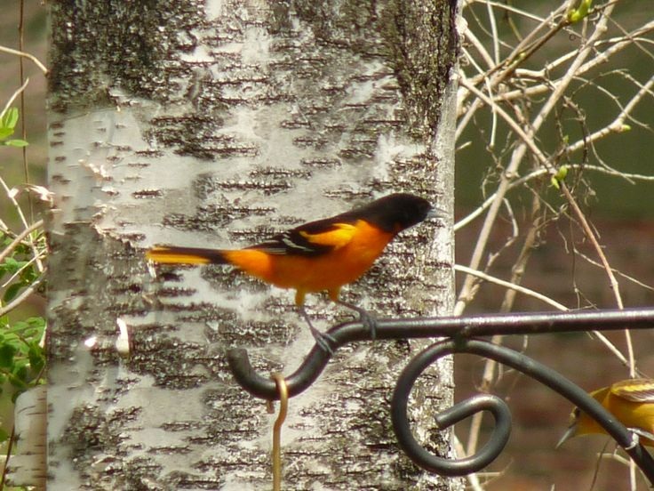 RichS Backyard Birds : Orioles  Birds and flowers in the yard  Pinterest