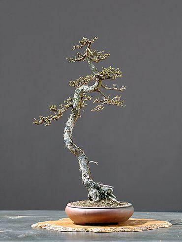 Pin by robert jab o ski on literati bonsai pinterest for Literati bonsai gallery