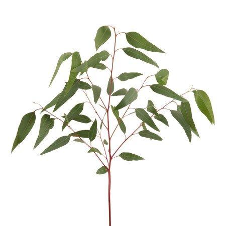 Eucalyptus 'Beak' eucalyptus camaldulensis