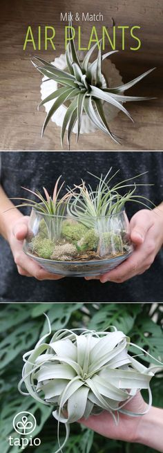 Get Free Shipping on all Orders Over $30 for a Limited Time. Wide selection of air plant varieties so you can find the perfect combination for your home. Shop Air Plants Now!