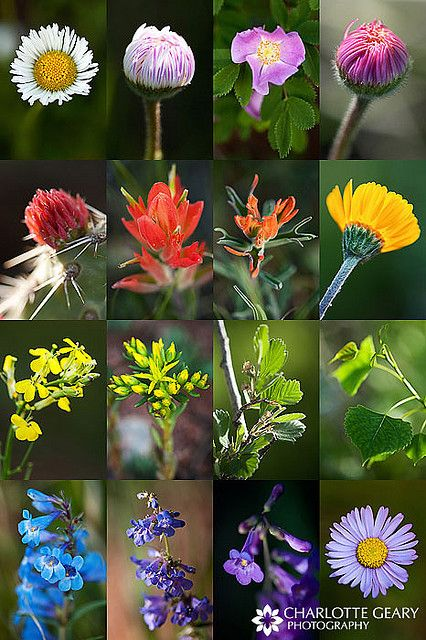 Colorado wildflowers - what will hopefully be growing in my front yard this year!