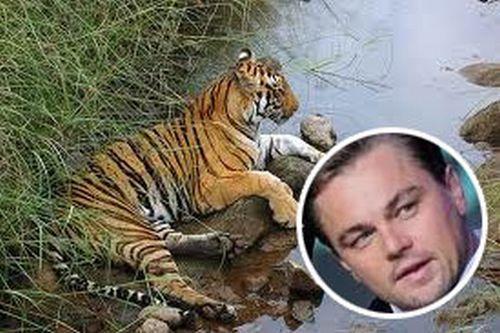 di caprio tigri