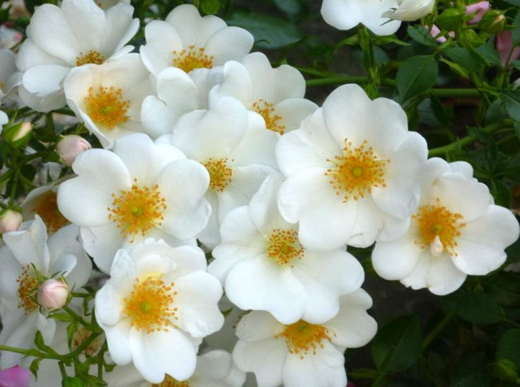 20 best rosiers rugosa et hybrides de rugosa images on pinterest