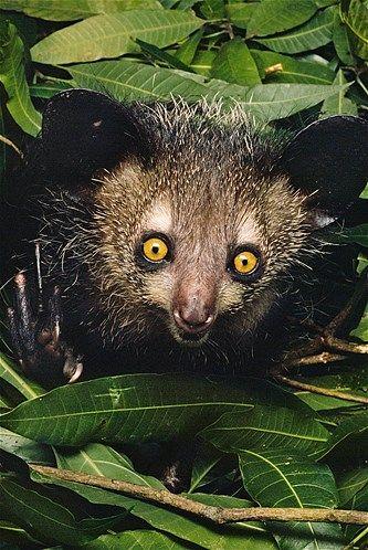 Image: Aye-aye lemur in Madagascar (© Frans Lanting ...