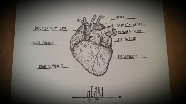 Artistic diagram of the heart