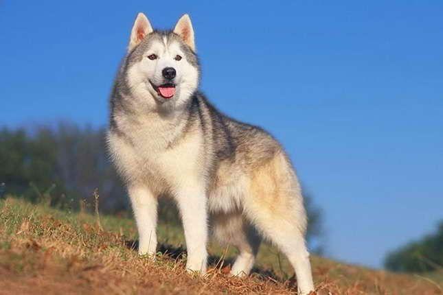 Average Price Of A Siberian Husky Puppy Husky Puppy Puppies Husky