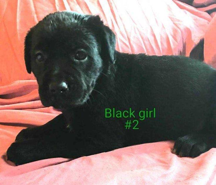 Labmaraner dog for Adoption in White River Junction, VT. ADN-617505 on PuppyFinder.com Gender: Female. Age: Baby
