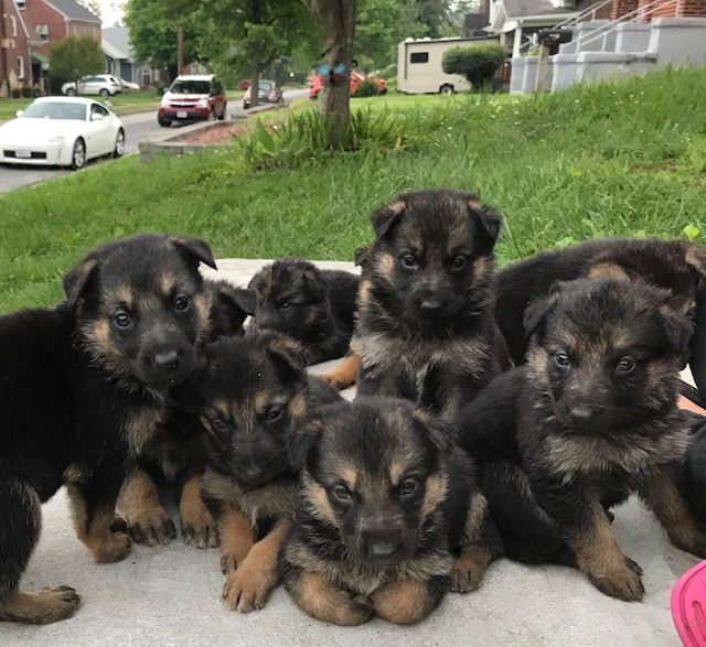 Litter of 7 German Shepherd Dog puppies for sale in ...