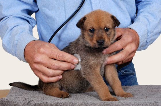 Problemy z żołądkiem u psów:  http://www.kakadu.pl/Zdrowie-psow/problemy-z-odkiem-u-psow.html