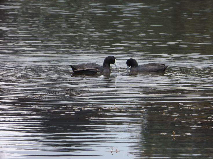 Nearly, nearly got the perfect photo, close enough. Great photo of a Moorhen couple