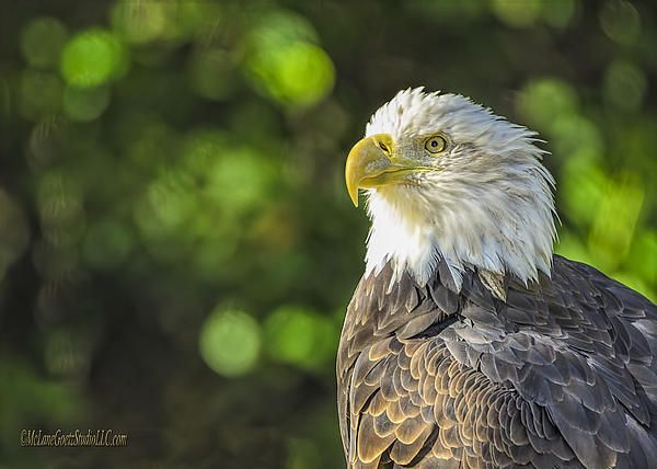 American Bald Eagle By LeeAnn McLaneGoetz McLaneGoetzStudioLLC.com  Did you know that the male and female bald eagles are identical in plumage, but females are about 25 percent larger than males. The bald eagle is both the national bird and national animal of the United States of America. Stoney Creek Metro Park, Washington, Michigan. Detroit Zoo, Michigan #EAGLES,#BIRDS,#BIRD WATCHING,#America