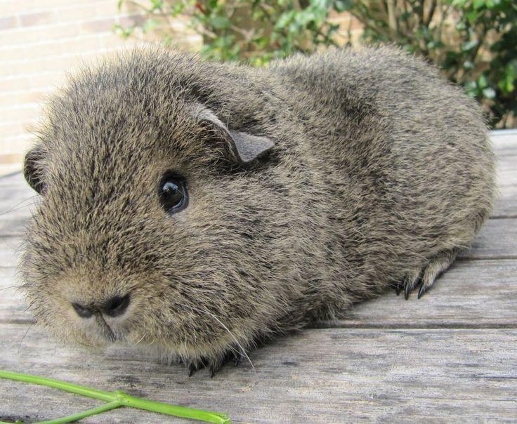 The 25 best pig breeds ideas on pinterest guinea pig breeding guinea pig breeds information and care on the types of guinea pig breeds around the sciox Gallery