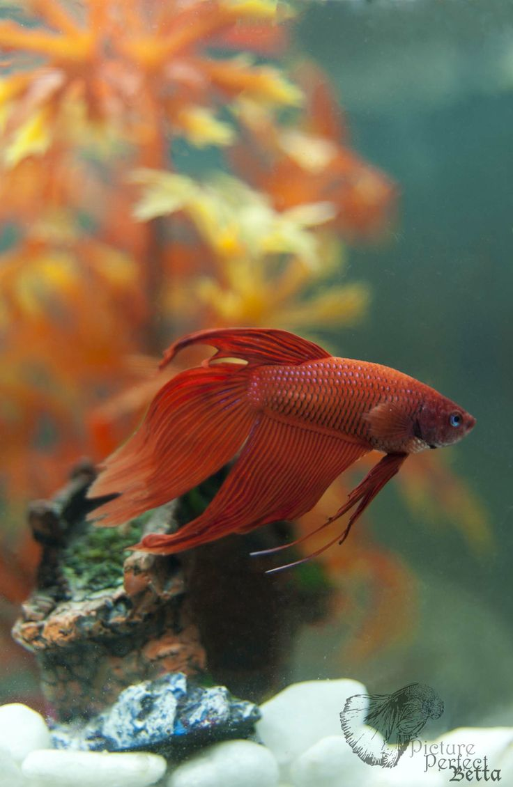 Veiltail betta the most common type of tail type you will for What type of water do betta fish need