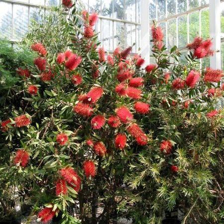Bottlebrush Callistemon Citrinus Common Names: Bottlebrush Tree Light: Full Sun Height: 8′ – 12′ Spacing/Spread: 6′ – 8′ Evergreen: Yes. Color: Red blooms. Inter…