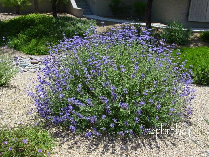 17 best images about landscape on pinterest delphiniums for Best plants for desert landscape